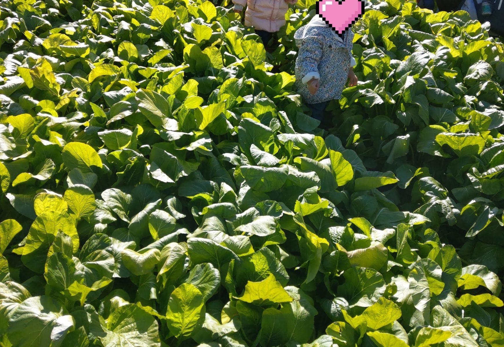 小松菜畑で追いかけっこ